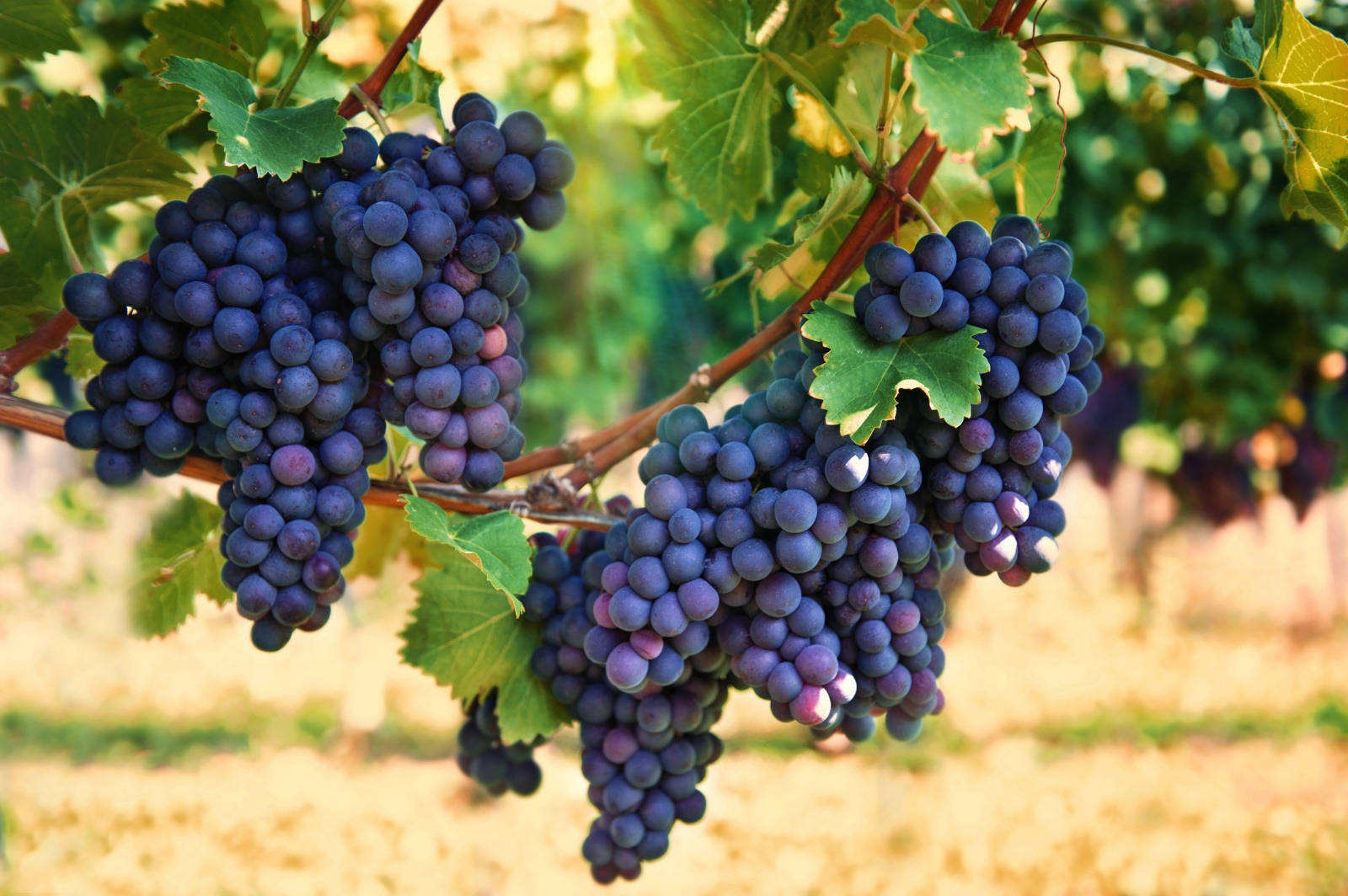 Resonon Hyperspectral Imaging Systems have been used to scan grapes